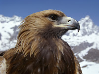 Eagle Closeup Wallpaper