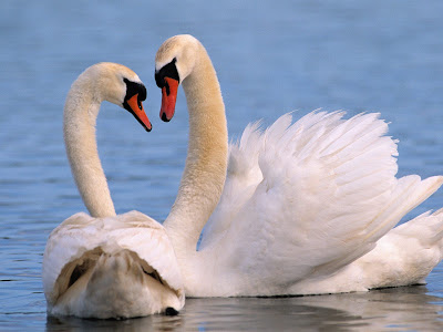 Swan Kissing Wallpaper