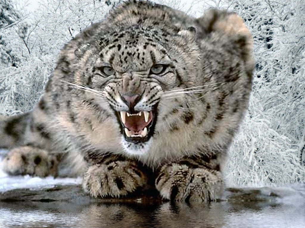 Leopard HD Wallpapers   Snow Leopard Pics, Photos of Hunting Videos