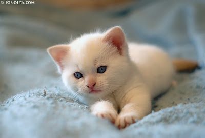 White kitten cats - White Puppy Image