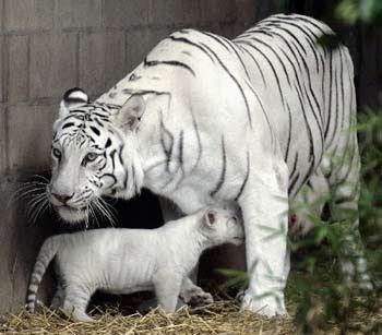 White Tiger with Cub Photo