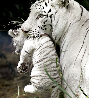 White Tiger with Cub Pics