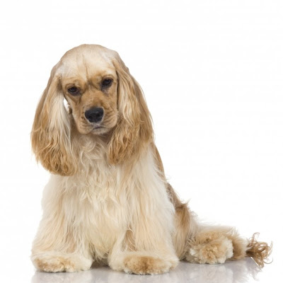 Most popular breed Cocker spaniel