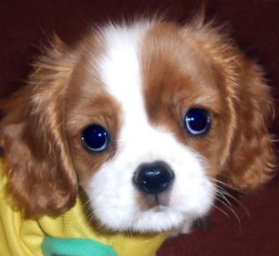 Cavalier King Charles Spaniel Breed Puppy Pics