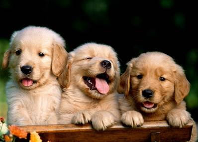 Dogs - Golden Retriever Breeds Puppies Pictures