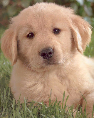 Golden Retriever Puppy Dogs Photo