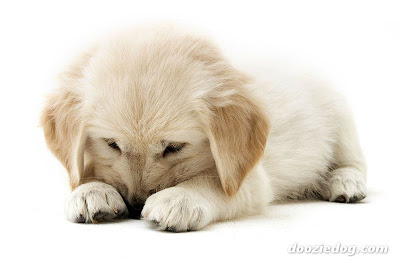 Dogs - Most popular breeds (US) Golden Retriever Cute Pics