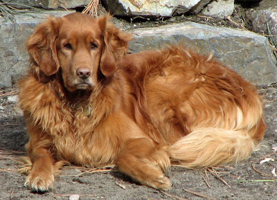 Popular Breeds Golden Retriever Dogs Wallpaper
