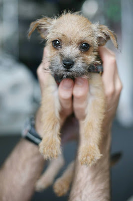 Dogs - Border Terrier Cute Puppy Pics