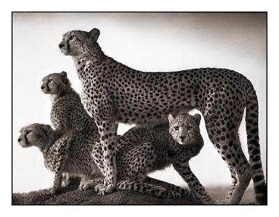 Cheetahs - Cheetahs Cubs