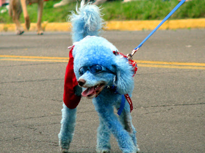 Blue Poodle Picture