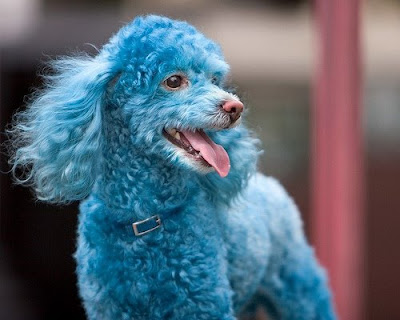 Cotton the Blue Toy Poodle Gallery Pictures