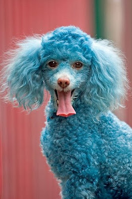 Funny Dog -Cotton the Blue Toy Poodle Pics