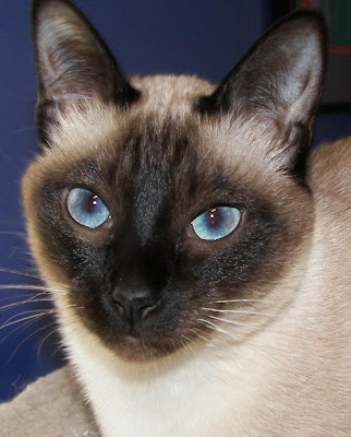 Cats - Classic Style Siamese Photo