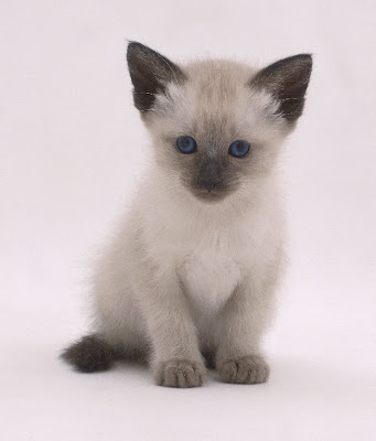 White siamese Cat Sitting Photo Pics