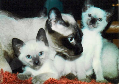 Traditional Siamese cats Photo