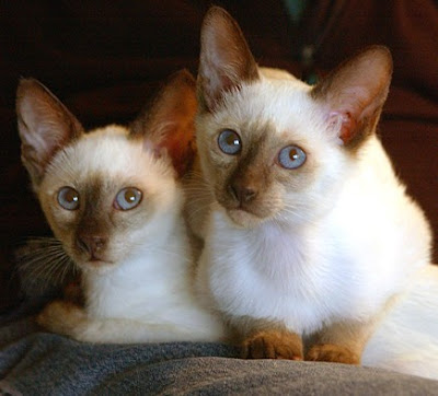 Animals - 02 Cute siamese Photo Pics