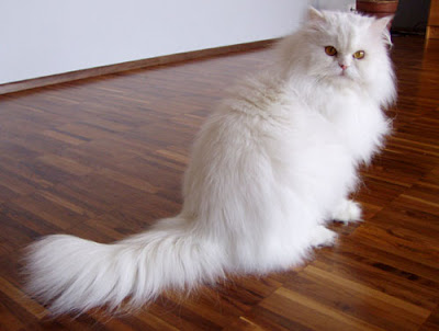 Most Popula Cats Breeds - persian cat