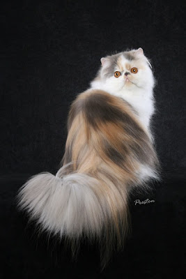 Cats - persian cat Photo