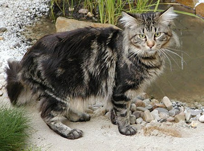 Popular Breeds - Maine Coons Cat Photo