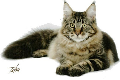 Maine Coon Cats of California