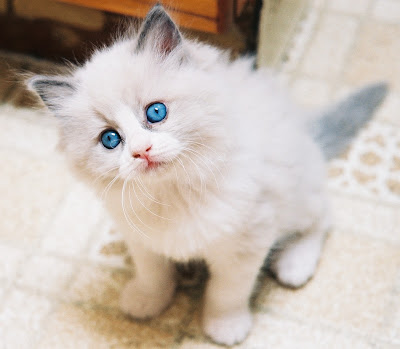 Cats Breeds - Ragdoll Cat Picture