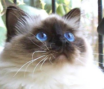 Breeds - Birman Cats Photo