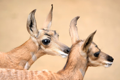 Two rare Peninsular pronghorns, male twins born at the Los Angeles Zoo