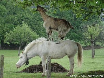 Funny Animals Goat Horse Picture