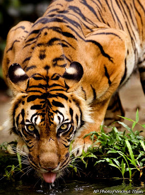Sumantra Tiger in Malaysia - Thirsty Tiger Photo Gallery Image