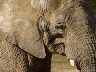 African Elephant Close up Wallpaper