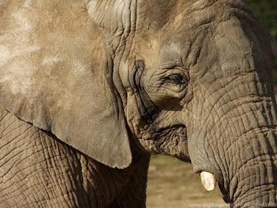 African Elephant Close up Wallpaper