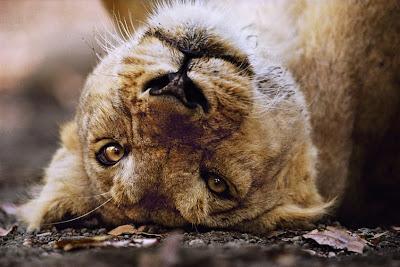Asian Lion Photo