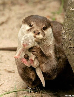 Otters - Animals Pics