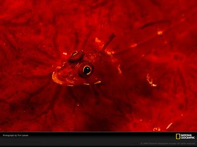 Triplefin Fish