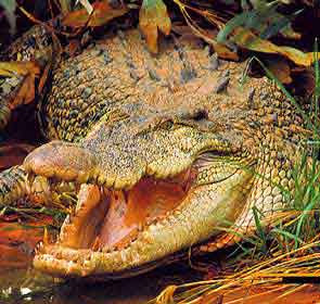 The Saltwater crocodile Picture