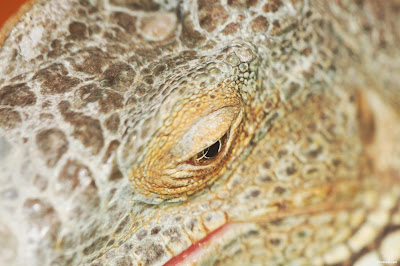 iguana Eye Closeup Picture