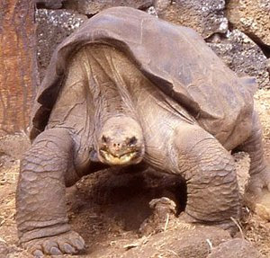 This is a Galapagos Giant Type