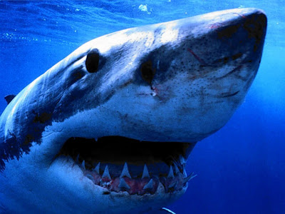 Sea Animals Shark Photo