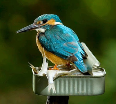 Fish Hunter - Kingfisher bird