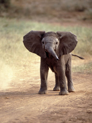 Baby African Elephants Photo