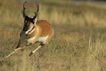 World Fastest Animal Pronghorn Antelope - 2