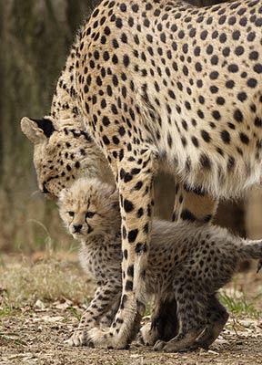 Tigers Cheetahs Cub Pics