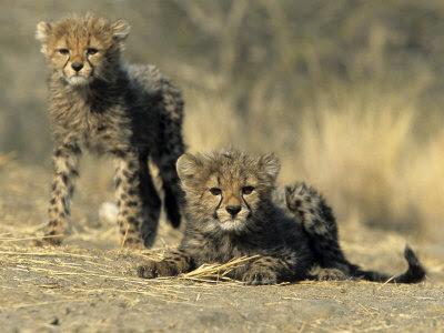 Cheetahs Cubs Pics