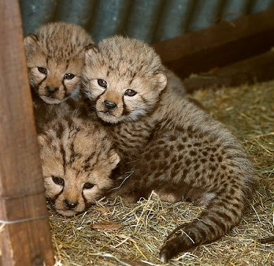 Tigers cheetah cubs Photo