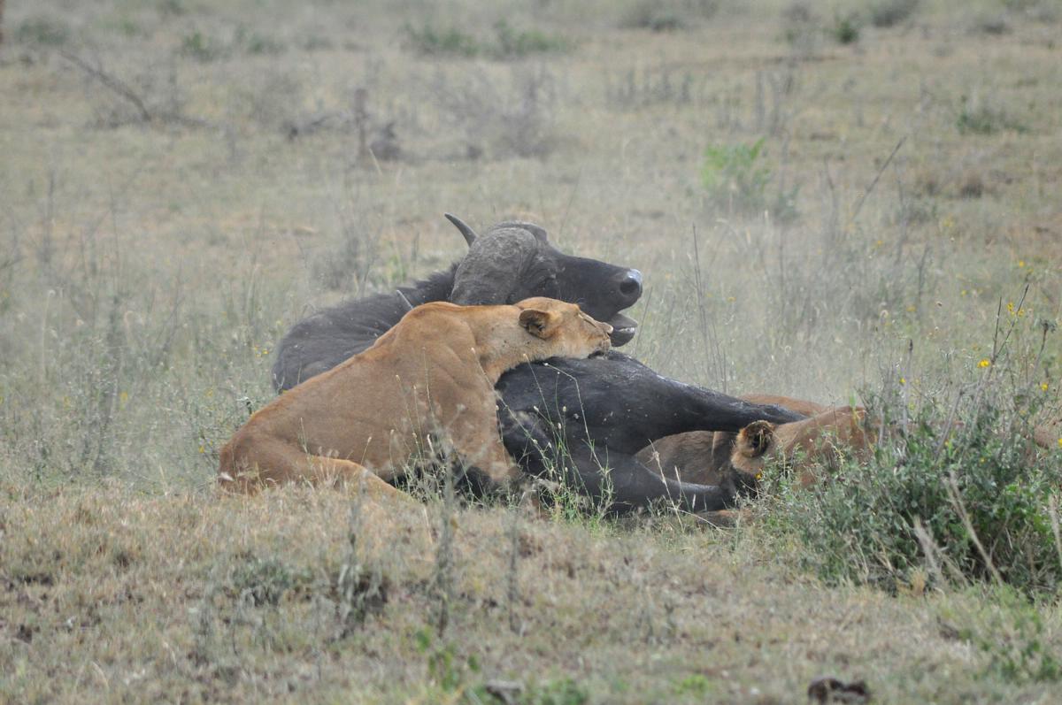 animals zoo park lion hunting buffalo lions hunting