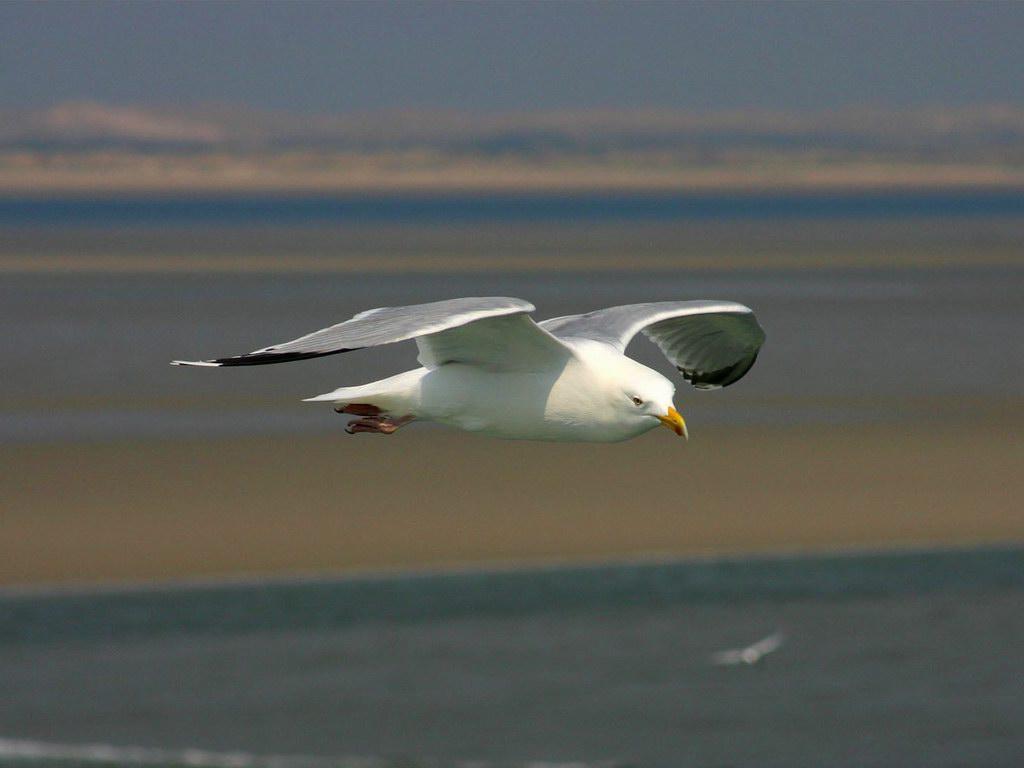 http://1.bp.blogspot.com/_N_mOB63qPaE/TNsIVCkHW-I/AAAAAAAAQxI/ogq9GupqAHs/s1600/flying-bird-seagull.jpg