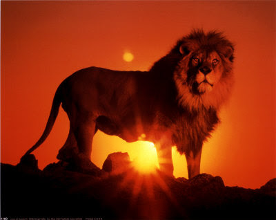 Lion Sunset Picture