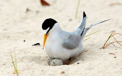 Least Terns Picture