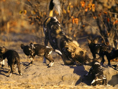 African Wild Dogs Gallery Pics